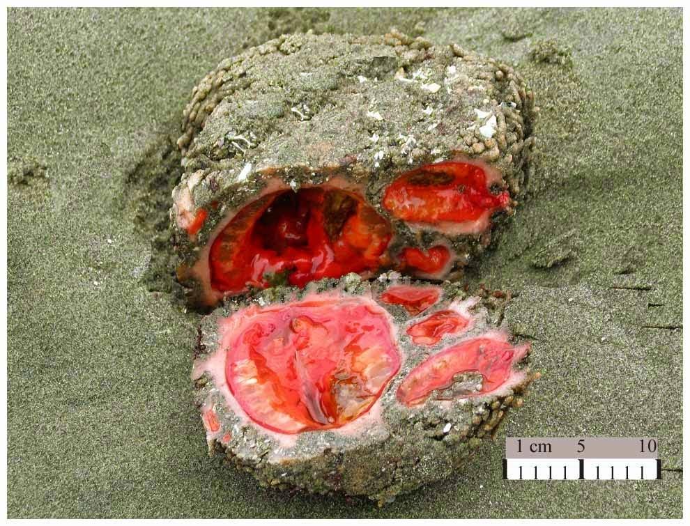bleeding rock pyura piure roca sangrante piura