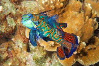 mandarin fish 4