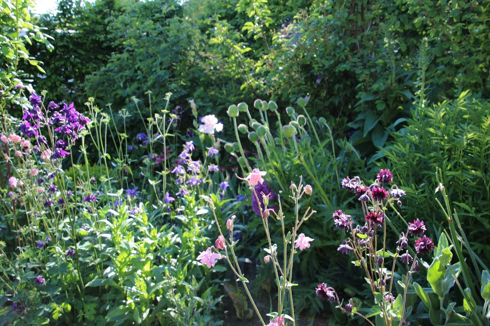 akleja aquilegia vulgaris mormorsväxt