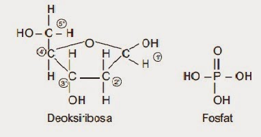 Rumus Bangun Deoksiribosa dan Fosfat