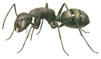 cara mengusir semut dengan mudah