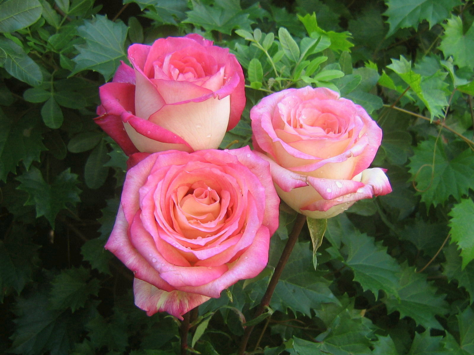 pink rose in - photo #45