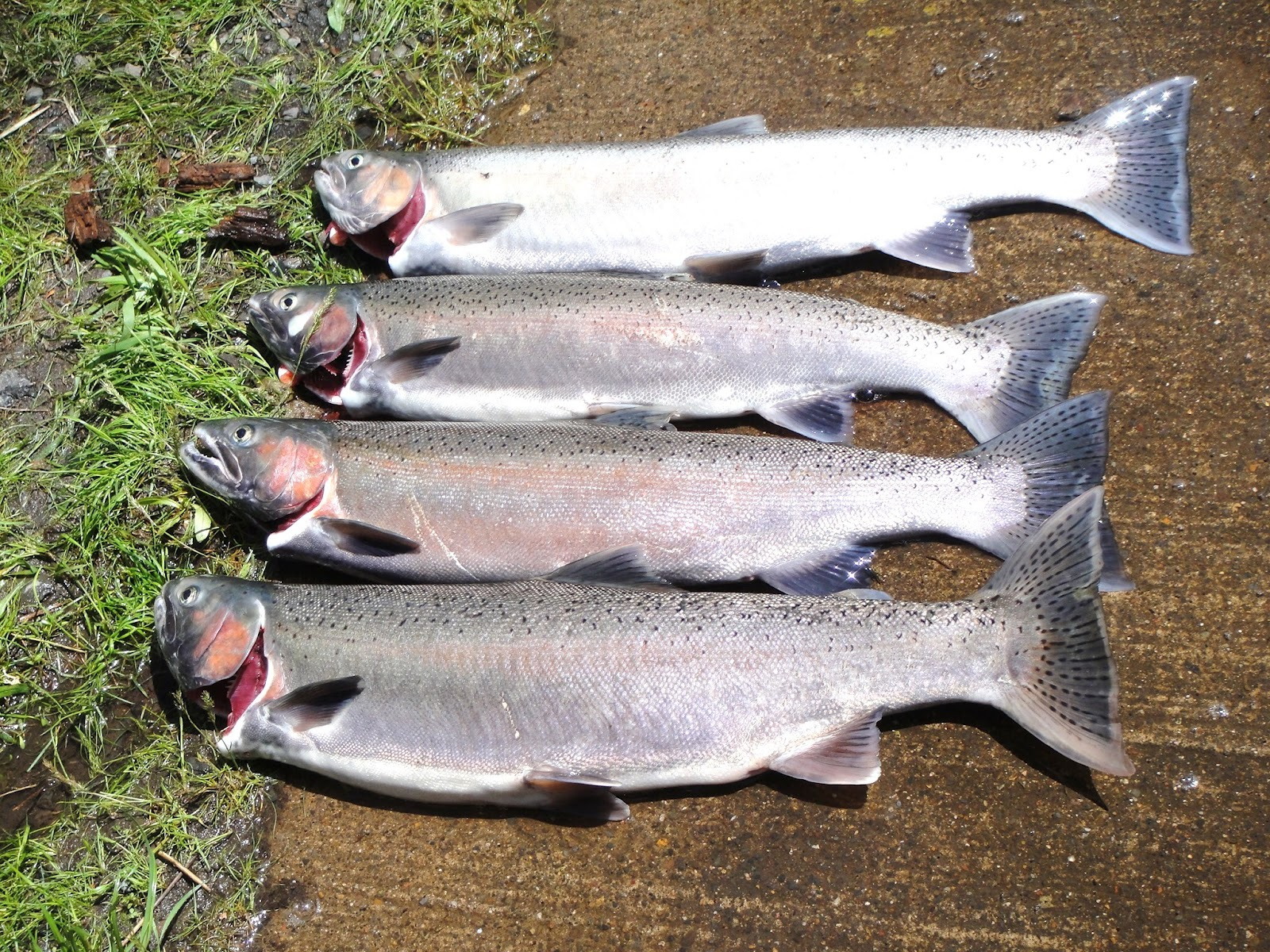 Rogue river fishing guides fishing the rogue fishing for Rogue river fishing report