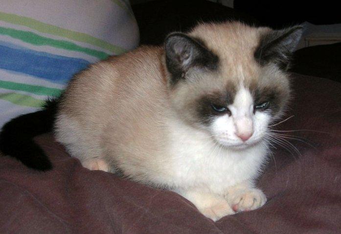 american shorthair cat lifespan