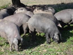 Que significa soñar con criar cerdos