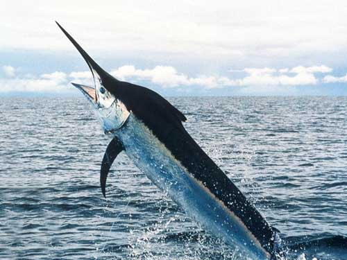 Beautiful Fastest Fish In The World Swordfish