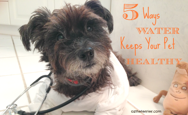 Dr Oz the Terrier 5 Ways Water Keeps Your Pet Healthy #PetHydrationMonth