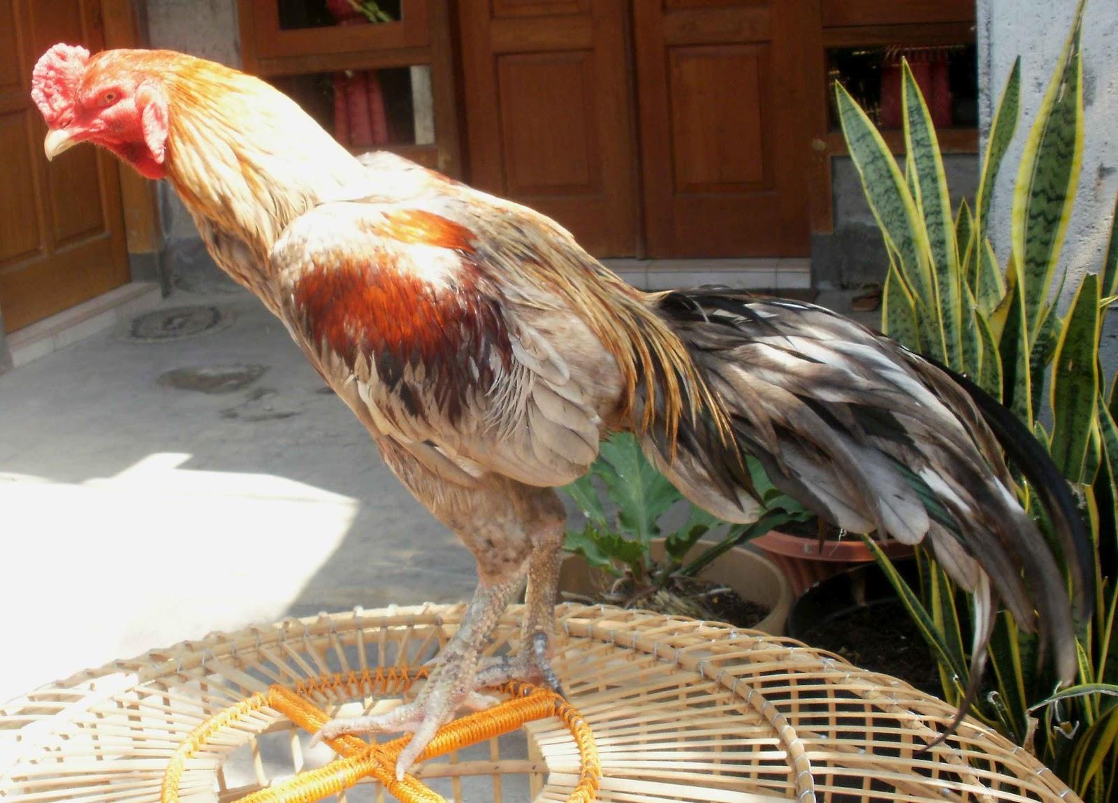 Ternak Ayam Bangkok Berkwalitas ( Dari Pacekan F1 ): Ayam