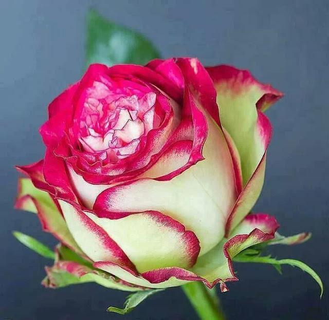 роза с каймой
