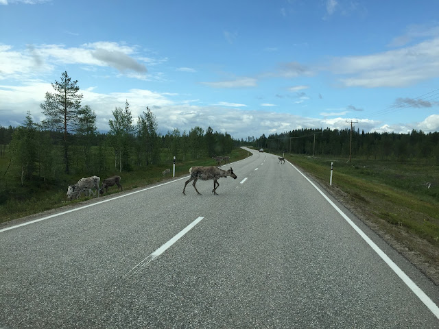 The Great Finnish Road Trip, Reindeer Finland, Reindeer in the road, Wild Reindeer Lapland