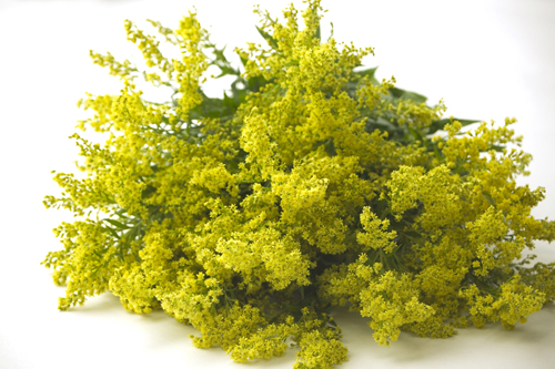 solidago this makes for a great filler flower in fall it has small tight blooms and it looks amazing with fall colors