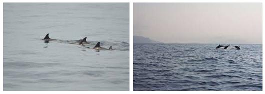 lumba sanggup Anda temukan di perairan Pulau Mare Atraksi Ikan Lumba-lumba di Pulau Mare - Wisata Kota Tidore