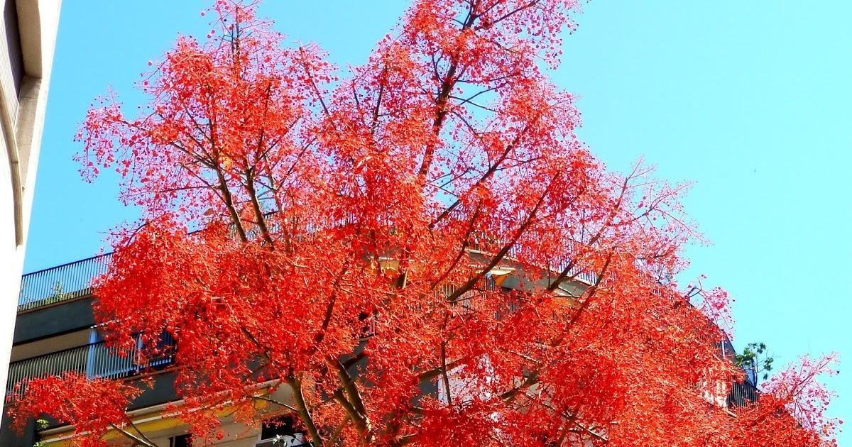 Rboles con alma arbol de fuego brachychiton acerifolius for Arbol de fuego jardin