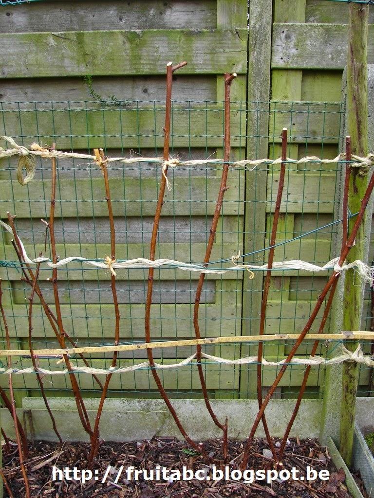 inheems- en uitheems fruit: tweemaaldragende frambozen snoeien.