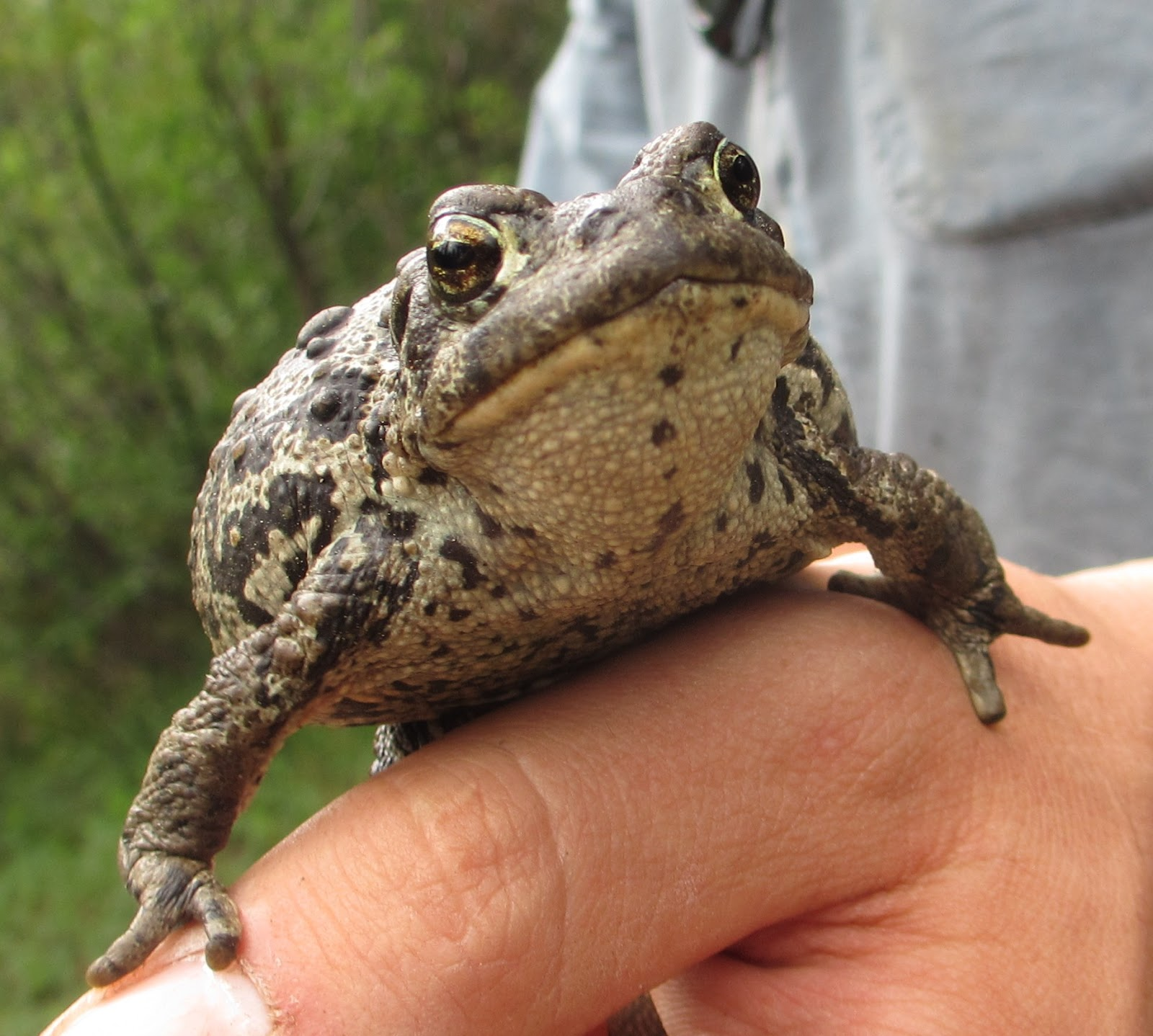 Cannundrums boreal toad we found two of the toads hopping through long grass in a swampy area bordering the pine trees incidentally it was also within yards of the area we found sciox Image collections