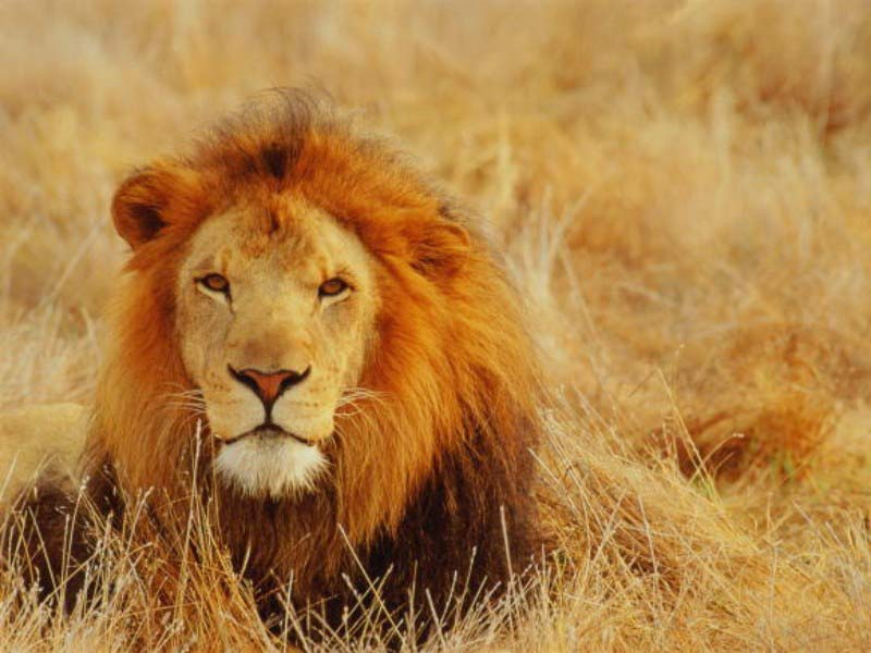 My Top Collection Free Lion Pictures