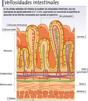 Biología Humana: SISTEMA DIGESTIVO: ANATOMÍA (2° PARTE)
