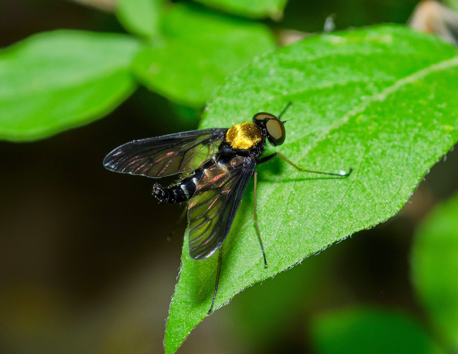 Golden-Backed Snipe Fly, Chrysopilus thoracicus