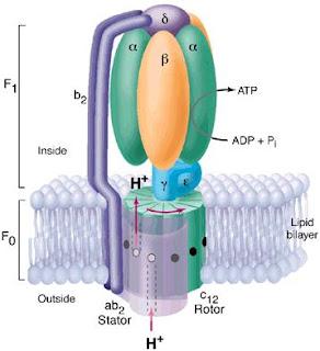 Fo-F1 ATPase