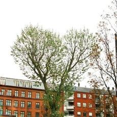 Red Byens Træer I Natursyn DR P1