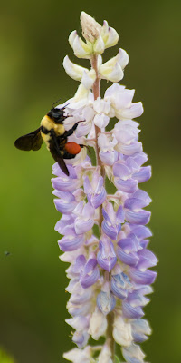 Bumblebee on lupine