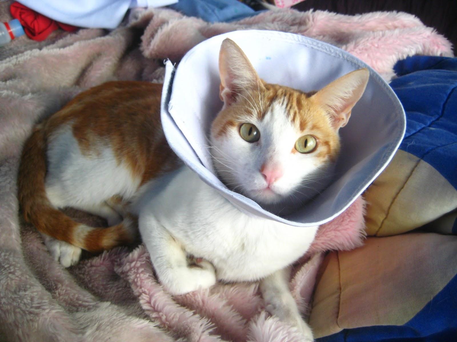 Alfileres sangrantes collar isabelino para gatos o for Como hacer un collar para perro