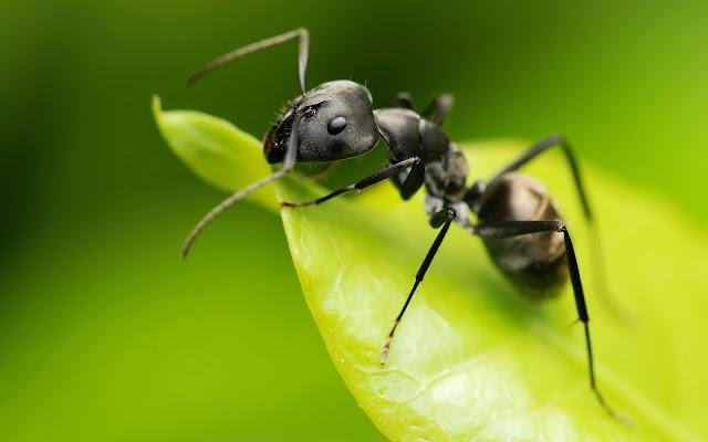 Fondos HD de Insectos: Hormiga en una Hoja Verde