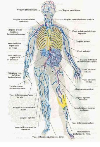 Medicina Para Todos: Sistema Linfatico De La Pierna