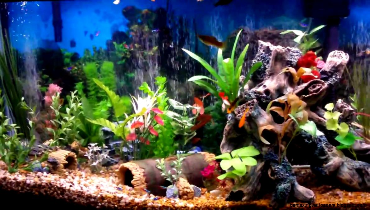 Freshwater community aquarium fish amazing wallpapers for Best aquarium fish