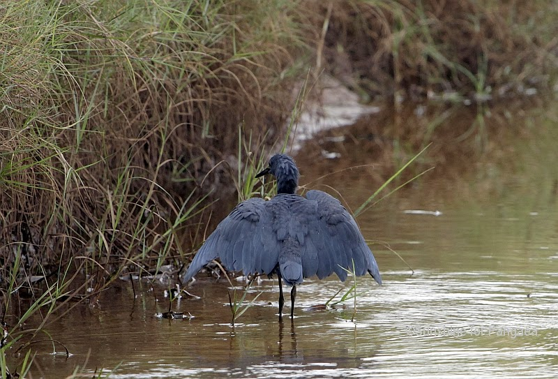 Black Heron canopy fishing in Gambia