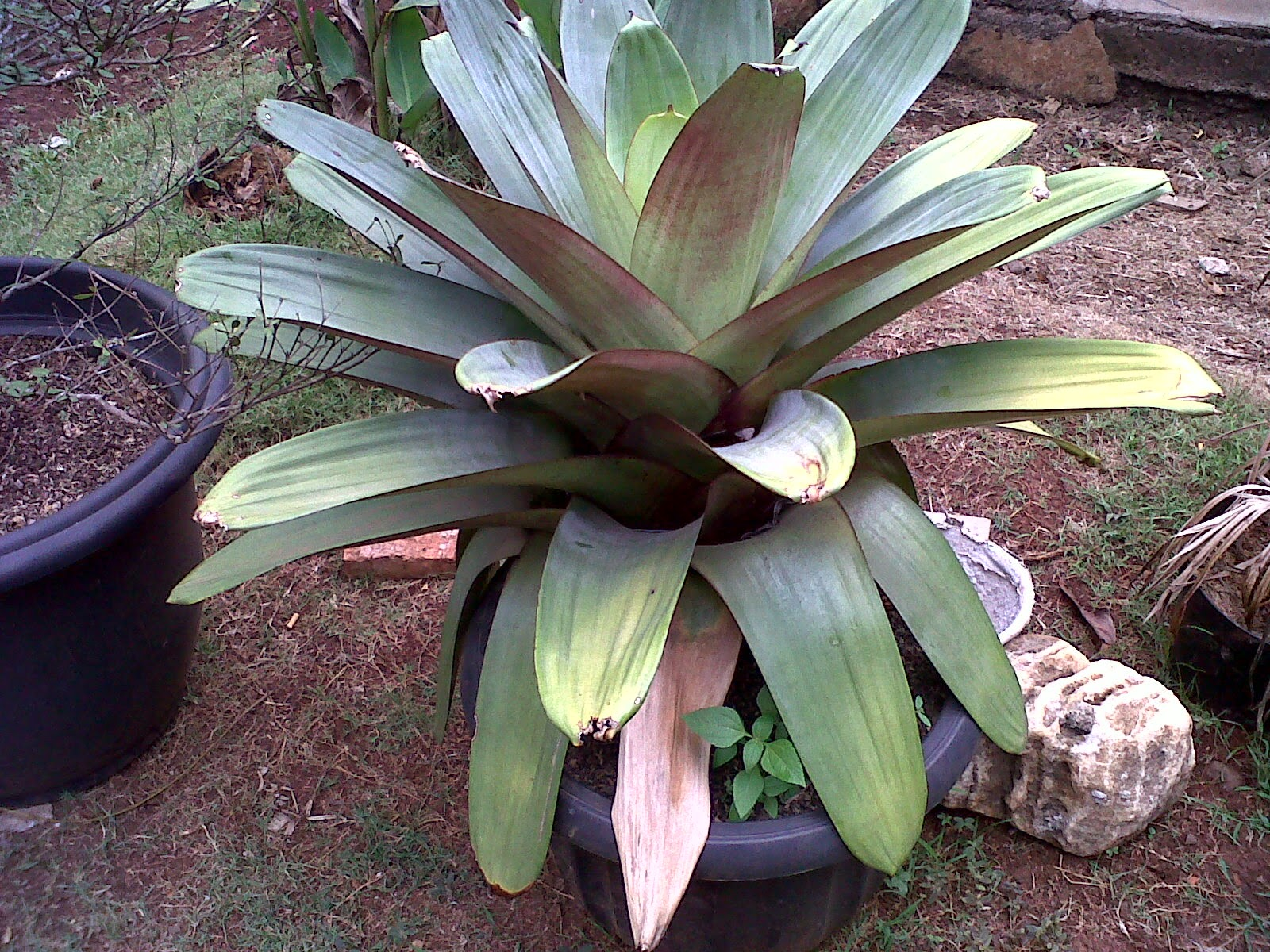 Jual aneka bromelia | Aglaonema | Suplier tanaman hias | Jasa tukang taman | Renovasi taman