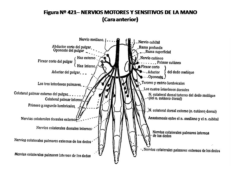 ATLAS DE ANATOMÍA HUMANA: 421. NERVIOS MOTORES Y SENSITIVOS DE LA ...