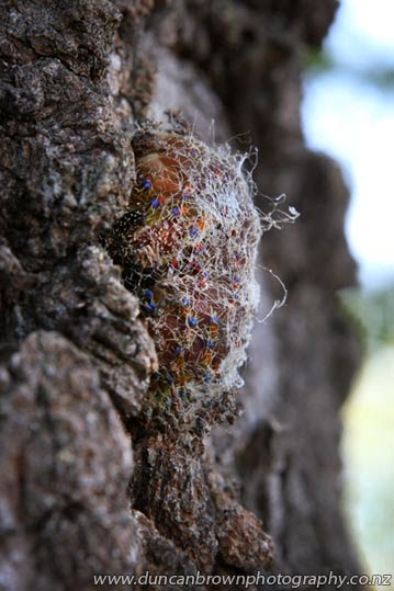 A work in progress: an emperor gum caterpillar spins its cocoon on my maple tree photograph