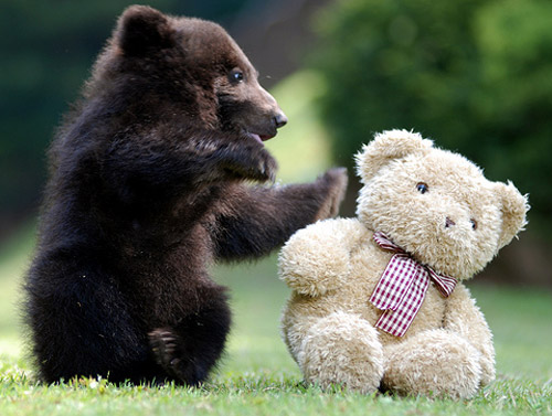 Baby Black Bear Playing with 'Teddy' bear