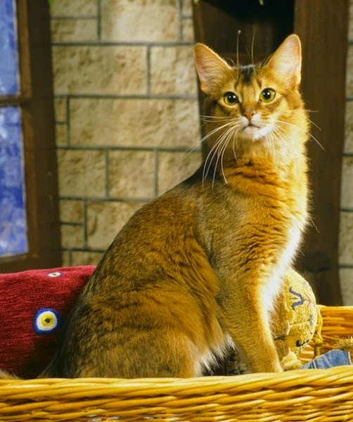 5 FRIENDLIEST CAT BREEDS