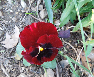 Red Pansy Face in November, © B. Radisavljevic