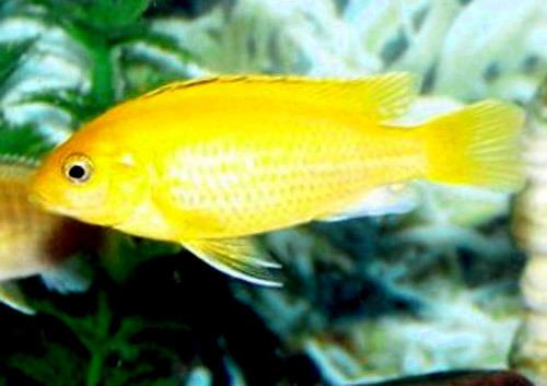Gambar Ikan Lemon Ciklid