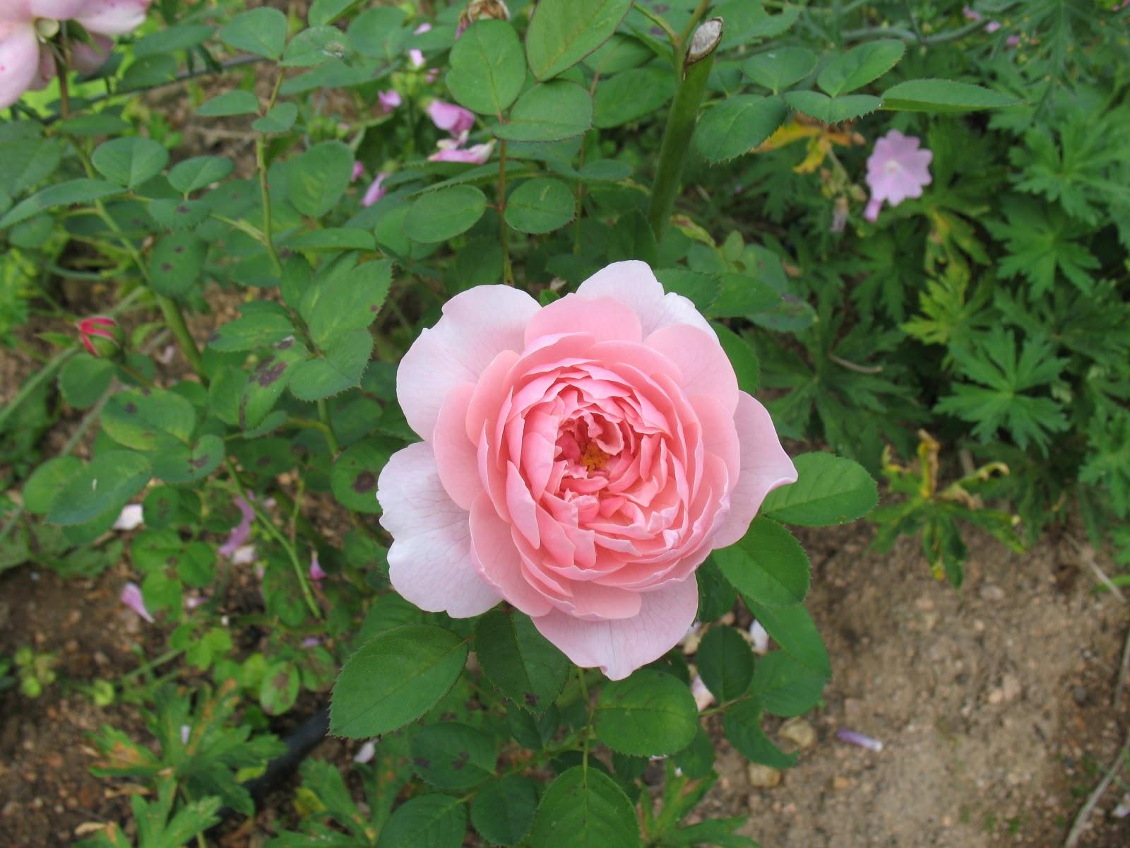 roses du jardin ch neland rosier the alnwick rose. Black Bedroom Furniture Sets. Home Design Ideas