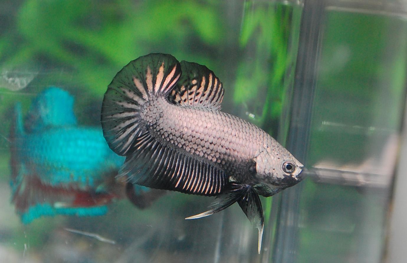 Betta fish afira betta hmpk 27 april black dragon all for All about betta fish