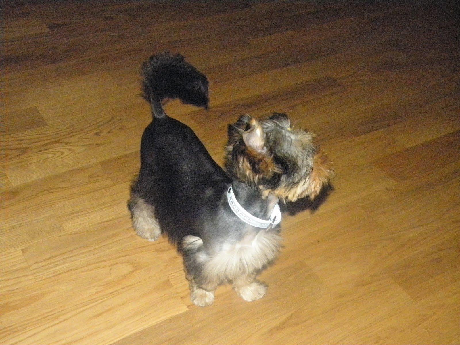 Yorkshire Terrier Suzie Nowa Fryzura