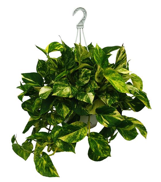alba hogar plantas para colgar