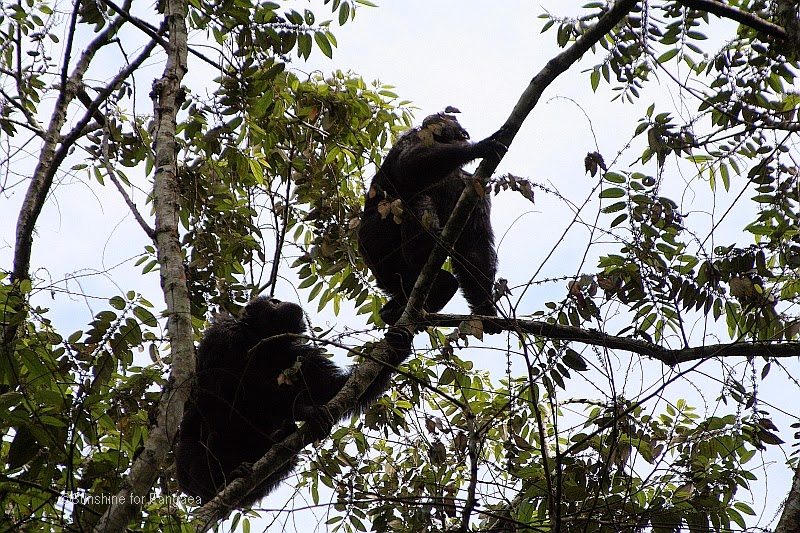 Chimpanzees in the Kalinzu Forest in Uganda