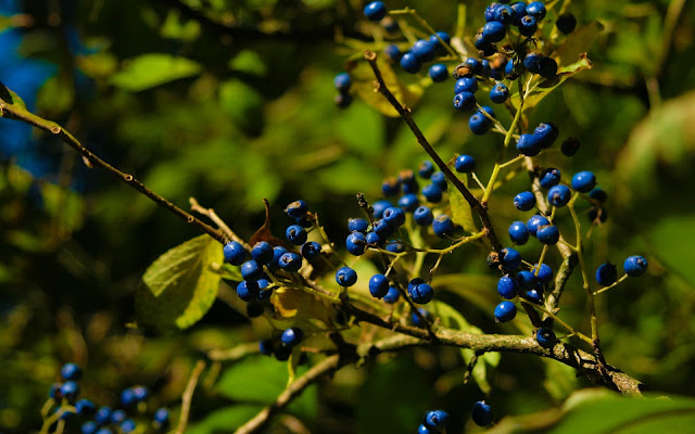 Autumn Blue Berries