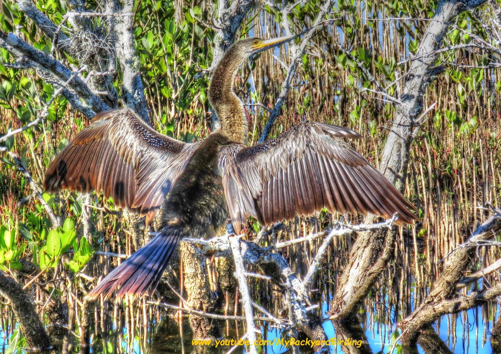 backyard birding and nature anhinga merritt island national
