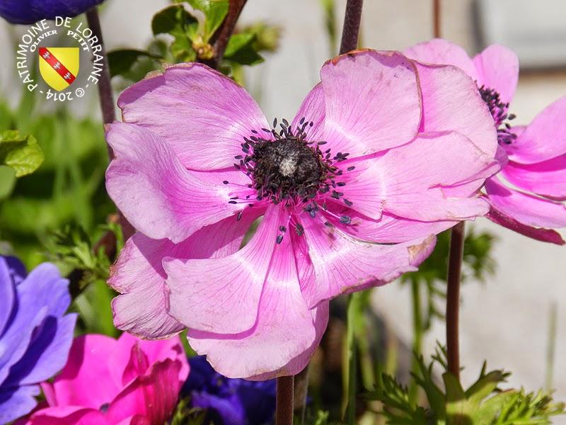 VILLERS-LES-NANCY (54) - Les anémones du Jardin botanique du Montet