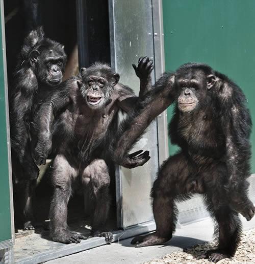 Emotiva Reacción de unos Chimpancés Cuando Ven la Luz del Día por Primera Vez en Décadas