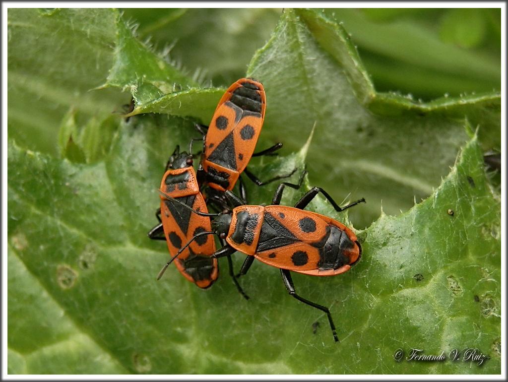Insectos de la rioja chinche roja pyrrhocoris apterus for Insectos del jardin