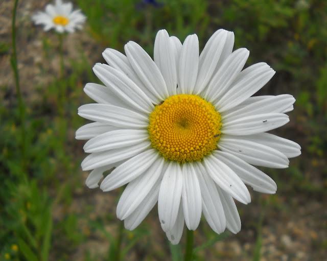 Lazy Daisy wildflowers at Winfrey Point, White Rock Lake, Dallas, TX