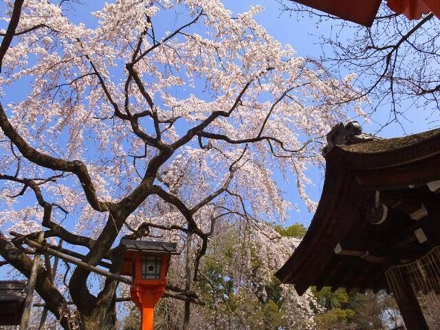 手洗舎前にある枝垂れ桜、「魁桜(さきがけざくら)」の全容。