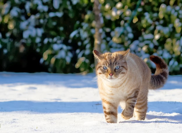 snow yetaland cat